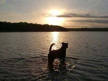 Dog In Water. Dog standing in lake during sunset stock photos