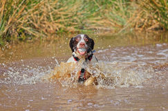Dog in water with ball. Dog splashing in water with ball in mouth stock images