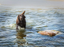 Dog in the water, Baltic Sea, Poland Stock Photos