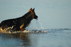 Dog in the water. Dog bathing and playing in the water Stock Photos