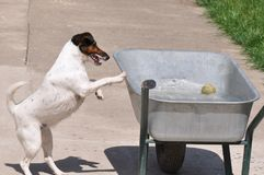 Dog in water. Beautiful dog playing in water in improvised pool Stock Image