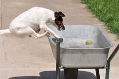 Dog in water. Beautiful dog playing in water in improvised pool Stock Photography