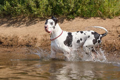 Dog in the water Stock Image