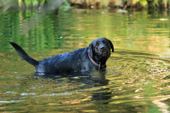 Dog and water. Black Labrador standing in the waters of pond. Cute glance. Summer season Stock Photography