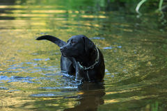 Dog and water Royalty Free Stock Photography