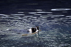 Dog in the water Royalty Free Stock Images