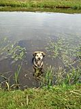 Dog in water. Brown black Royalty Free Stock Images