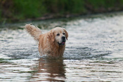 Dog in water Stock Photo