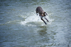 Dog in the water. Kurzhaar dog playing and running in the water. Natural light and colors Stock Photo