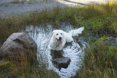 Dog in the water Stock Images