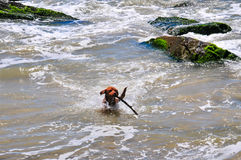 Dog on the water. A dog returning from the beach with a wood stick on his mouth Stock Images