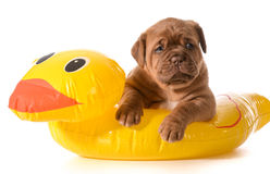Dog water safety Stock Images