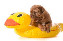 Dog water safety Stock Photos