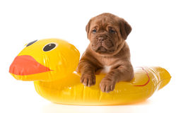 Dog water safety Royalty Free Stock Photos