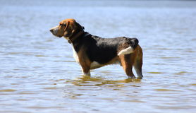Dog in the water. Side view of a dog standing in shallow water Royalty Free Stock Photography