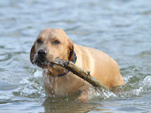 Dog in the water with a stick Stock Images