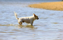 Dog in the water. White Chiwawa running in the shallow water by the beach Stock Photos