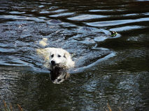 Dog in water. White dog swims across the river with fast-flowing, holds in its mouth branches and aims to reach the shore Royalty Free Stock Image
