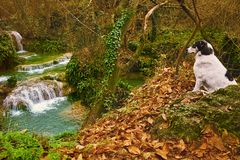 Dog and Waterfall. Mongrel Dog is Looking on the Waterfall Royalty Free Stock Photography