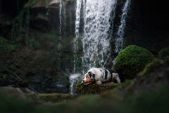 Dog at the waterfall in nature. Pet in the forest. australian shepherd stock image