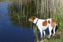 Dog by the waterside Royalty Free Stock Photo