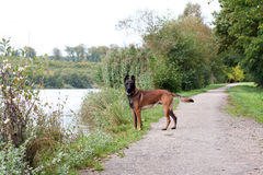 A dog on a way. A young malinois on the edge of a lake Royalty Free Stock Photography