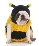 Dog wear bee costume Stock Image