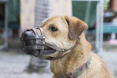 Dog wear muzzle. Royalty Free Stock Photography