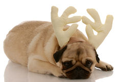 Dog wearing antlers Stock Image