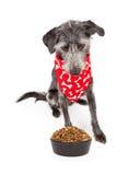 Dog Wearing Bandana Looking Down At Food Bowl Royalty Free Stock Photography