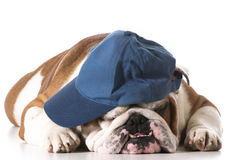 Dog wearing baseball cap Stock Images