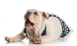 Dog wearing bathing suit Royalty Free Stock Photo