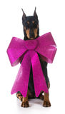 Dog wearing a big bow Royalty Free Stock Photo