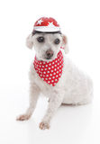 Dog wearing bike helmet and bandana Stock Photography