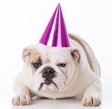 Dog wearing birthday hat Royalty Free Stock Photos
