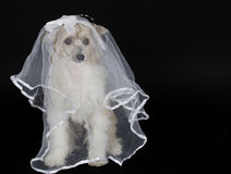 Dog wearing a bridal veil. Cute Chinese Crested dog (Powderpuff variety) wearing a bridal veil,  on black with copy space for your text Royalty Free Stock Images