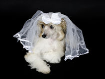 Dog wearing a bridal veil. Cute Chinese Crested dog (Powderpuff variety) wearing a bridal veil, isolated on black Stock Images