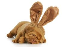 Dog wearing bunny ears Royalty Free Stock Images