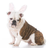 Dog wearing bunny ears Royalty Free Stock Photography