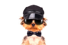 A dog wearing a cap and glasses with neck bow Stock Photo