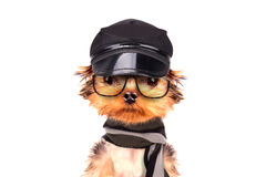 A dog wearing a cap and glasses with scarf. Isolated on a white royalty free stock image