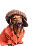 Dog wearing a cap and jacket Stock Photography