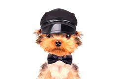 A dog wearing a cap and neck bow Royalty Free Stock Photo