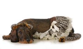 Dog wearing cat costume Stock Images