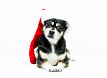 Dog Wearing Christmas Stocking - Center. High key shot of a black, white, and tan dog wearing a red and white Christmas stocking and looking at the camera Stock Photography