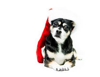 Dog Wearing Christmas Stocking - Right Side. High key shot of a black, white, and tan dog wearing a red and white Christmas stocking an dlooking at the camera Stock Photography