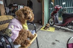 Dog wearing clothes in a cafe in vietnam royalty free stock photography