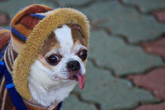Dog wearing clothes Royalty Free Stock Photography