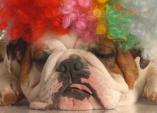 Dog wearing clown with Royalty Free Stock Photo