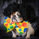 Dog wearing clown costume Royalty Free Stock Image